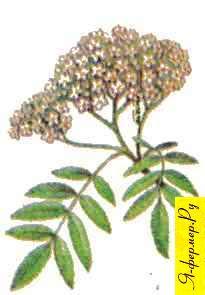 Рябиновый мед: описание, применение, рецепты