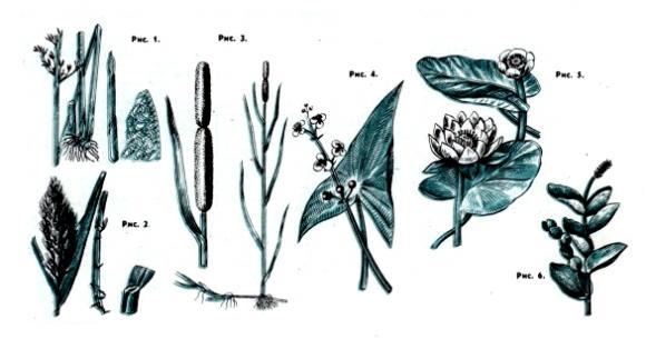 Растения водоёмов, рисунок