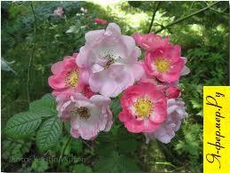 Применение роз
