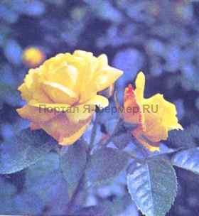 Роза Чайнэтаун