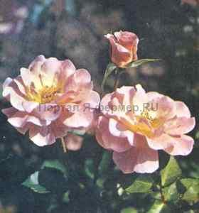 Роза Пинк Паульсен, фото