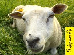 Оспа у сельскохозяйственных животных