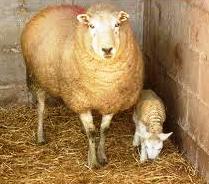 Как определить возраст овец