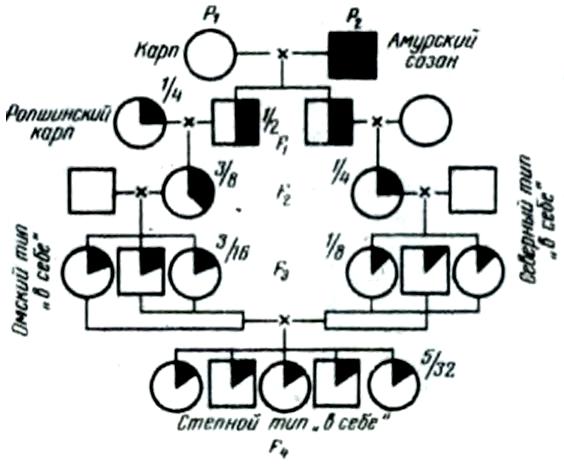 Схема скрещиваний карпа