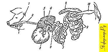 Схема пищеварительных органов свиньи