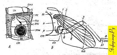 Схема строения ножки пчелы