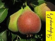 Сорт груши Скороспелка из Треву: описание, достоинства сорта