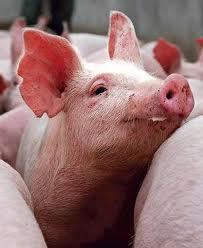 осеменение свиноматки, фото