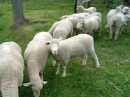 выявление половой охоты у овец