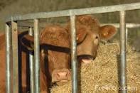 Системы и способы содержания коров.