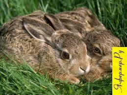 Спаривание кроликов фото