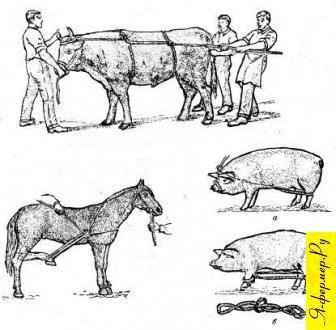 Способы повала сельскохозяйственных животных