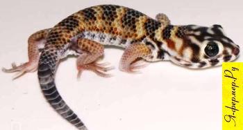 Сцинковый геккон фото