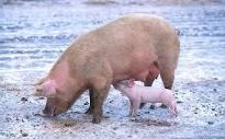 свиноматка с поросёнком, фото