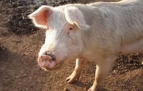 Мероприятия по подготовке свиноматки к опоросу