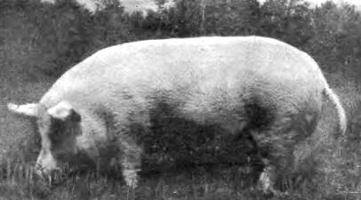 Свинья породы сибирская северная
