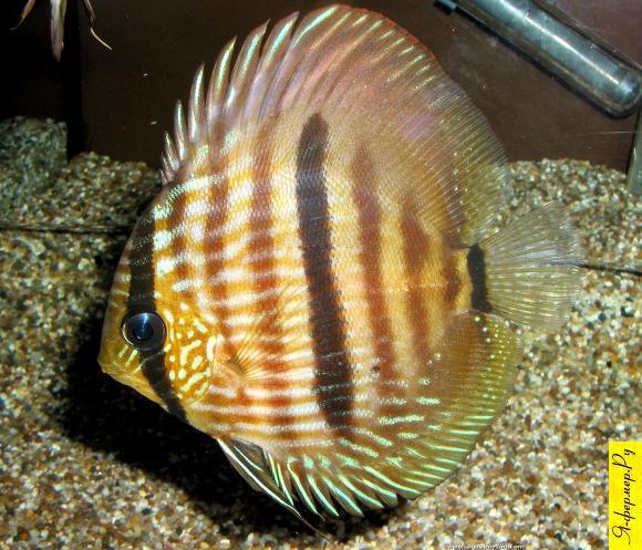 Дискус, Symphysodon discus, фото