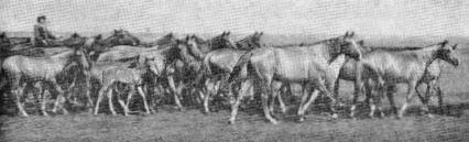 Кустанайская порода лошадей фото.