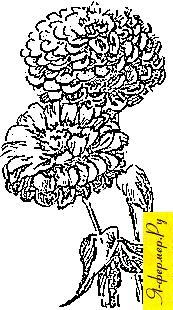 Цинния: описание, выращивание, размножение