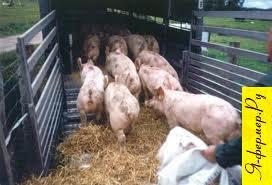 Перевозка свиней. Правила перевозки свиней.