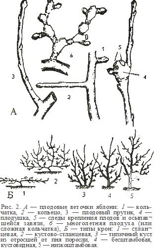 плодовые веточки яблони, типы крон яблонь, рисунки