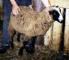 убой овец