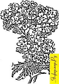 Вербена: сорта, размножение, использование