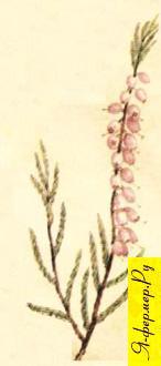 Вересковый мед: описание, применение, рецепты