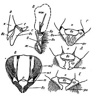 Верхние челюсти пчёл рисунок