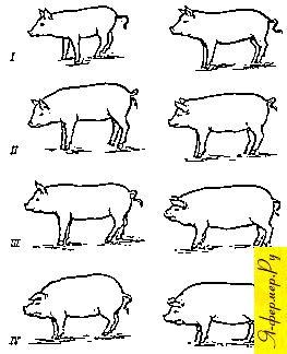 Возрастные изменения в телосложении мясных и сальных свиней