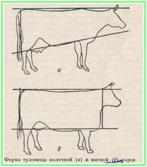 выбор коровы