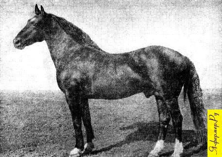 Жеребец Казбек, вороной