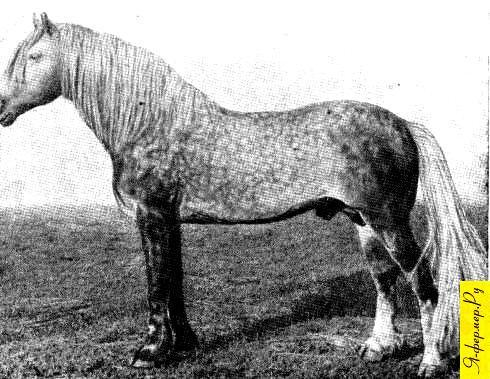 Жеребец Ветерок, серый