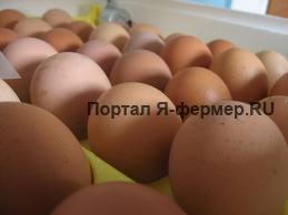 Как правильно инкубировать куриные яйца в инкубаторе?