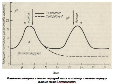 изменение толщины эпителия передней части влагалища у свиноматок, график