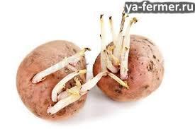 можно ли дробить картофель с проросшими отростками на корм крупнорогатому скоту?