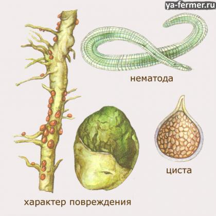 Золотистая картофельная нематода – коварный вредитель картофеля