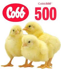 Погибают цыплята Кобб 500