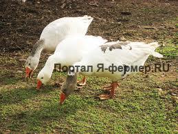 Кормление гусей, фото