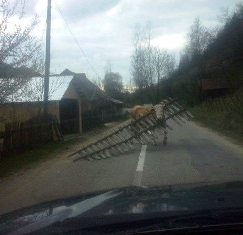 Корова вынесла забор.