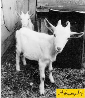 выращивание козлят, козлята, кормление козлят, нормы кормления, рацион кормления