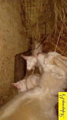 Почему у козы нет молока и что можно сделать?
