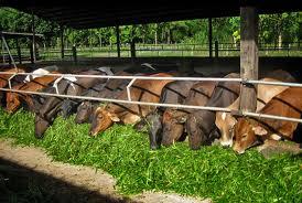 Выращивание телки до коровы или как вырастить высокопродуктивную корову