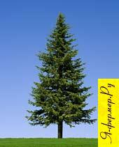 Крупномерное дерево, крупномер.