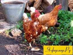 Как прекратить нежелательный инстинкт насиживания яиц курами?