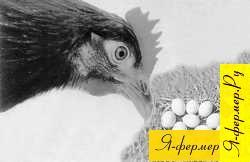 Затрудненная яйцекладка: признаки, лечение и меры профилактики