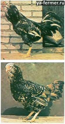 Орловские куры ситцевой расцветки