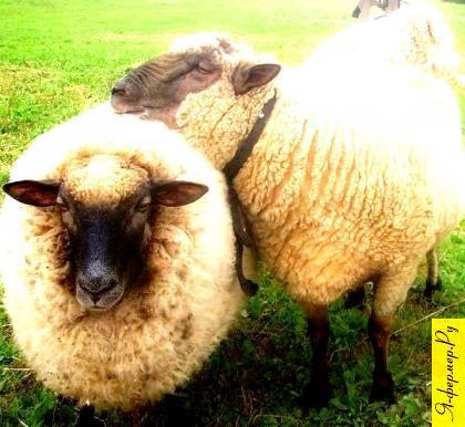 латвийская порода овец, латвийские овцы фото