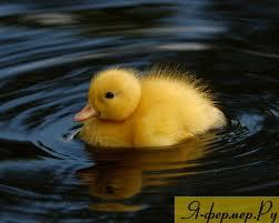 утёнок в пруду, фото