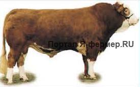 Бык мясной породы
